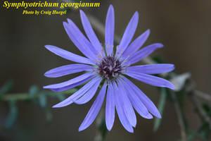 Symphyotrichum georgianum
