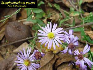 Symphyotrichum patens