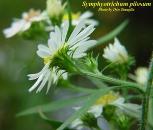 Symphyotrichum pilosum
