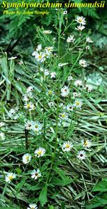 Symphyotrichum simmondsii