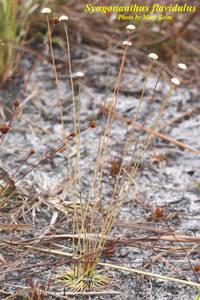 Syngonanthus flavidulus