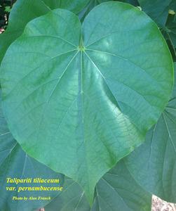 Talipariti tiliaceum var. pernambucense