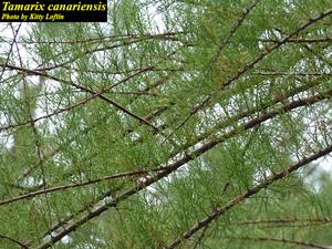 Tamarix canariensis