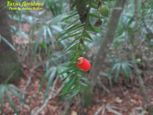 Taxus floridana
