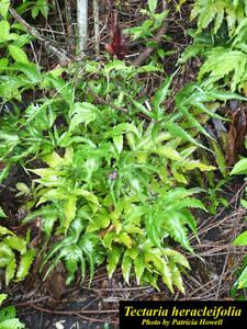 Tectaria heracleifolia