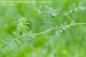 Tephrosia angustissima var. corallicola