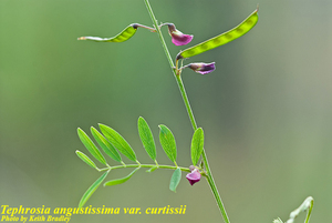Tephrosia angustissima var. curtissii