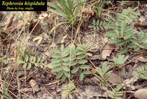Tephrosia hispidula