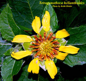 Tetragonotheca helianthoides