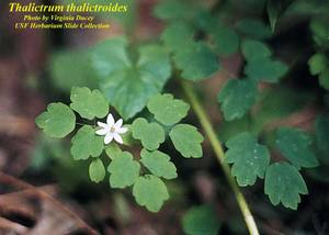 Thalictrum thalictroides