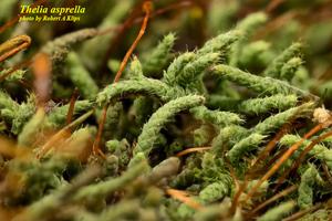 Thelia asprella