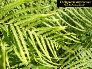 Thelypteris augescens