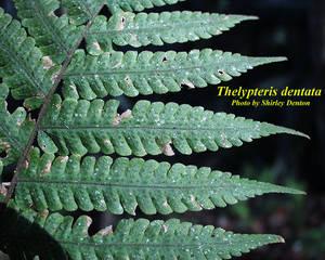 Thelypteris dentata