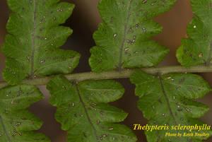 Thelypteris sclerophylla