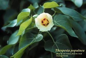 Thespesia populnea