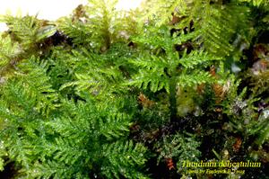 Thuidium delicatulum
