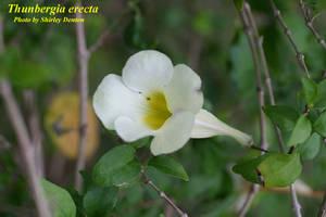 Thunbergia erecta