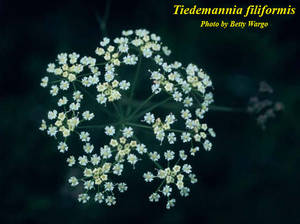 Tiedemannia filiformis