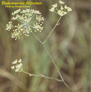 Tiedemannia filiformis