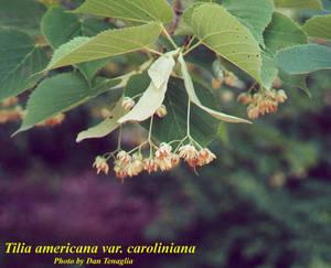 Tilia americana var. caroliniana