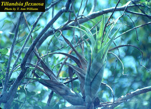 Tillandsia flexuosa