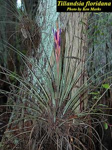 Tillandsia floridana