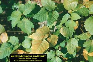 Toxicodendron radicans