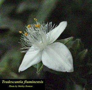 Tradescantia fluminensis