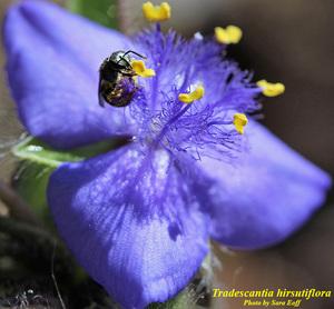 Tradescantia hirsutiflora