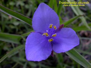 Tradescantia ohiensis