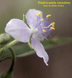 Tradescantia roseolens