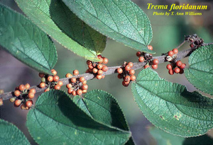 Trema floridanum