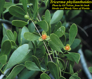 Tricerma phyllanthoides