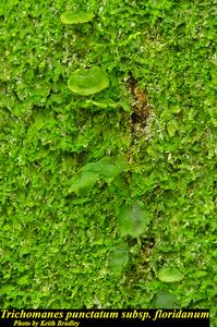 Trichomanes punctatum subsp. floridanum