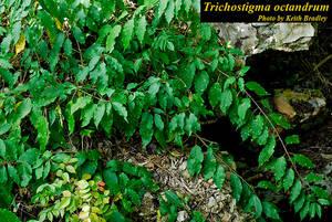 Trichostigma octandrum