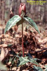Trillium decipiens