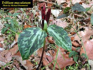 Trillium maculatum