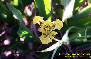 Trimezia martinicensis
