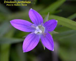 Triodanis perfoliata