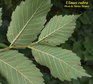 Ulmus rubra