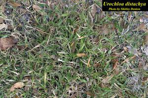 Urochloa distachya
