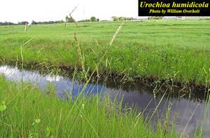 Urochloa humidicola