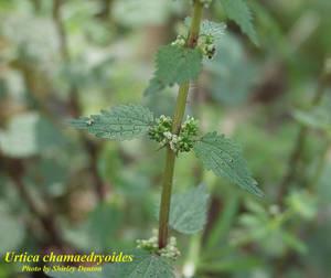 Urtica chamaedryoides