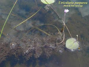 Utricularia purpurea