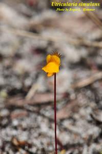 Utricularia simulans