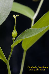 Uvularia floridana