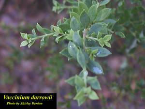 Vaccinium darrowii