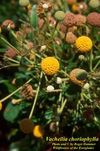 Vachellia choriophylla