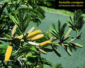 Vachellia cornigera