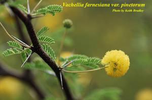 Vachellia farnesiana var. pinetorum